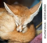 Small photo of Sleeping fennec fox (Vulpes zerda), the national animal of Algeria and the smallest species of canid. Desert Fox sleeps on a shelf with books in the house, wakes up, gets angry.