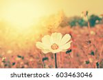 cosmos flower in sunshine... | Shutterstock . vector #603463046