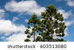 Small photo of The Queensland Kauri Pine Or Smooth Barked Kauri (Agathis Robusta) Trees Isolated In The Blue Sky With Clouds, Gold Coast, Queensland, Australia