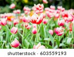 flowers in the beautiful flower ... | Shutterstock . vector #603559193