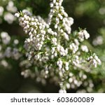 detail of erica flower in a... | Shutterstock . vector #603600089