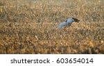 english pointer dog running in... | Shutterstock . vector #603654014