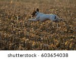 English Pointer Dog Running In...