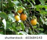 Passiflora Cincinnata Is A...