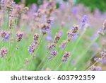 lavender flower background  | Shutterstock . vector #603792359