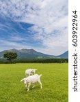 goats eat grass in a farm near... | Shutterstock . vector #603922964