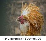 Fancy Chicken Profile