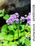 Small photo of Flower Ageratum houstonianum
