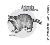 raccoon. hand drawing of... | Shutterstock .eps vector #604040093