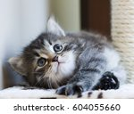 Little Cat Of Siberian Breed ...
