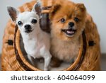 Stock photo close up of two lovely and cute puppies white chihuahua dog and red pomeranian dog with funny 604064099
