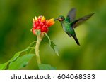 Hummingbird green crowned...