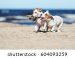 Stock photo two jack russell terrier dogs playing with a toy 604093259
