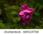 Stock photo pink roses with buds on a background of a green bush pink roses after rain 604114760
