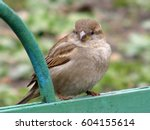 bird sparrow on a green fence. | Shutterstock . vector #604155614