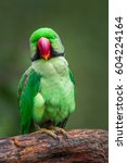 Small photo of Alexandrine parakeet (Psittacula eupatria) looking in camera . Shallow depth of field.