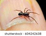 oedingnatha sp. spider | Shutterstock . vector #604242638