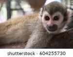 Monkey Sleep On A Timber.