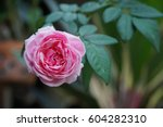 Stock photo pink rose in the nature 604282310