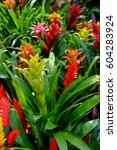 Bromeliad In Various Colors ...