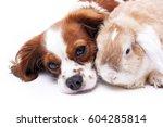cavalier king charles spaniel... | Shutterstock . vector #604285814