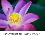 Close Up Of Lotus Flower On Th...