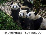 pandas enjoying their bamboo... | Shutterstock . vector #604405700