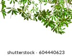 green leaves isolated on white... | Shutterstock . vector #604440623