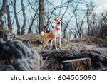 Stock photo dog walking outside in spring 604505090