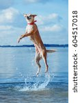 Happy Dog Jumping Up In The...