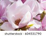 blooming magnolia tree in spring | Shutterstock . vector #604531790