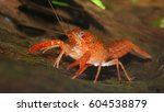 louisiana swamp crayfish Procambarus clarkii in a natural underwater environment