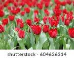 the tulips field color flower...   Shutterstock . vector #604626314