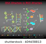 dna structure vs rna structure ... | Shutterstock .eps vector #604658813