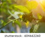 plukenetia volubilis  sacha... | Shutterstock . vector #604662260
