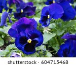 Many Blue  Pansy Flowers With...