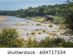 elephant river in kruger... | Shutterstock . vector #604717334