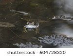 Adult Common Frog At Mating An...