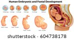 diagram showing human embryonic ... | Shutterstock .eps vector #604738178