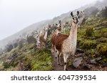 lama  lama glama  of a lama... | Shutterstock . vector #604739534