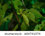 Small photo of leaf insect