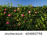 blooming pink camellia   a... | Shutterstock . vector #604883798