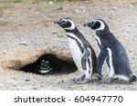 magellanic penguins in... | Shutterstock . vector #604947770
