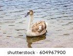 whooper swan swims near the... | Shutterstock . vector #604967900