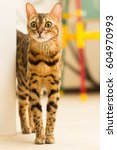 Stock photo cat of bengali breed in a home setting in stands full length 604970993