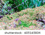 moss sphagnum sp  wildflower in ... | Shutterstock . vector #605165834