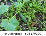 growing cucumber in the garden   Shutterstock . vector #605179100