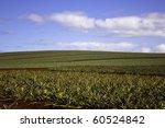 Dole Plantation Pineapple Fields