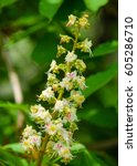 Small photo of Spring blossoming chestnut flowers. Aesculus hippocastanum (blossom of horse-chestnut tree)