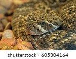 Diamondback Rattlesnake  A...